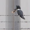Belted Kingfisher <br /> South Padre Island <br /> Texas