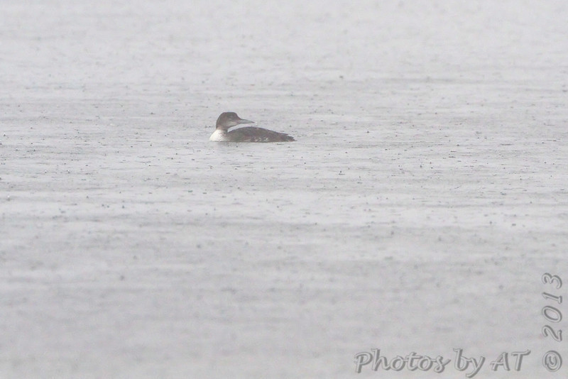 Common Loon <br /> South Padre Island <br /> Texas