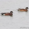 American Wigeon <br /> South Padre Island <br /> Texas