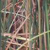 Least Bittern <br /> South Padre Island <br /> Texas
