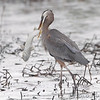 Great Blue Heron <br /> South Padre Island <br /> Texas