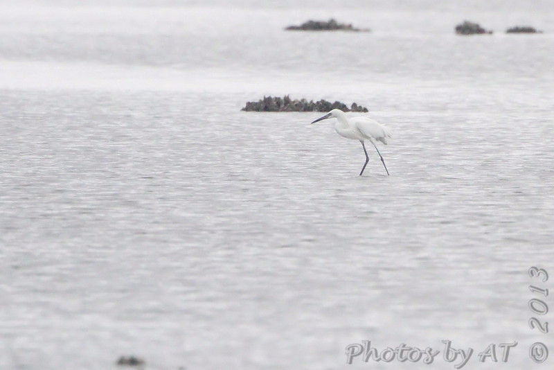 Reddish Egret (White Morph) <br /> South Padre Island <br /> Texas