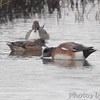 American Wigeon and Northern Pintail <br /> South Padre Island <br /> Texas
