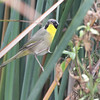 Common Yellowthoat <br /> South Padre Island <br /> Texas