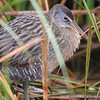 Clapper Rail <br /> South Padre Island <br /> Texas