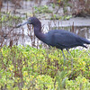 Little Blue Heron <br /> South Padre Island <br /> Texas