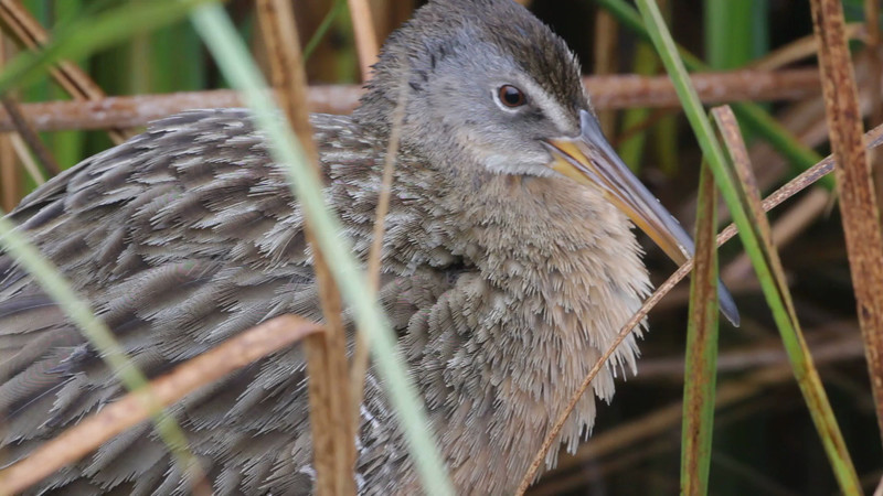 """Clapper Rail  <br> South Padre Island <br> Texas <br><br><span class=""""noShowSmart""""> <a href=""""/MyKeywords/Bird-Videos/n-gF9bt/i-pcS9GVL/A""""> <span style=""""color:yellow"""">Click here to open video in lightbox/full screen</span></a> <br><br></span>  <span class=""""noShowGallery""""> <a href=""""/Birds/Birding-2013-January/2013-01-08-South-Padre-Island/i-pcS9GVL/A""""> <span style=""""color:yellow"""">Click here to open video in lightbox/full screen</span></a> </span>"""