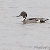 Northern Pintail <br /> South Padre Island <br /> Texas