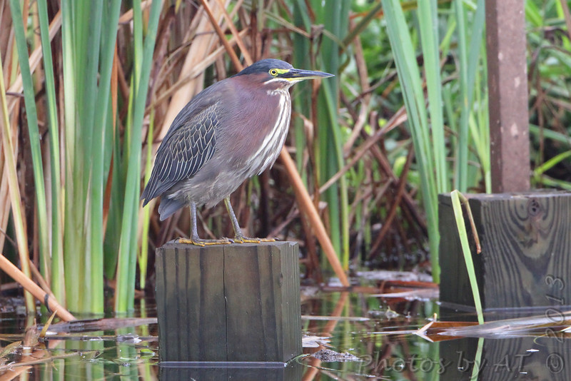 Green Heron <br /> South Padre Island <br /> Texas