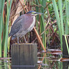 Green Heron <br /> South Padre Island <br /> Texas