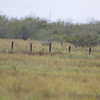 Aplomado Falcon <br /> First one seen way out on fence post.<br /> Luguna Atascoso NWR <br /> Texas