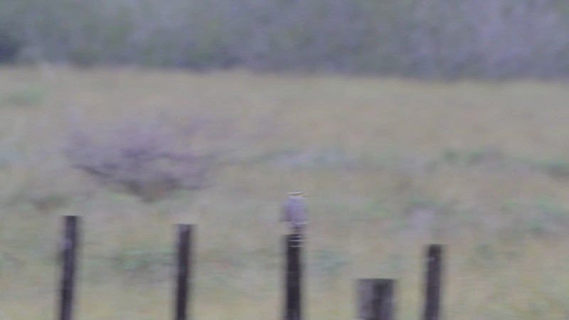 """Aplomado Falcon  <br> Second one at fence corner much closer. <br> Luguna Atascoso NWR <br> Texas <br><br><span class=""""noShowSmart""""> <a href=""""/MyKeywords/Bird-Videos/n-gF9bt/i-7gjks67/A""""> <span style=""""color:yellow"""">Click here to open video in lightbox/full screen</span></a> <br><br></span>  <span class=""""noShowGallery""""> <a href=""""/Birds/Birding-2013-January/2013-01-09-Luguna-Atascoso-NWR/i-7gjks67/A""""> <span style=""""color:yellow"""">Click here to open video in lightbox/full screen</span></a> </span>"""