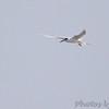 Forster's Tern <br /> Luguna Atascoso NWR <br /> Texas