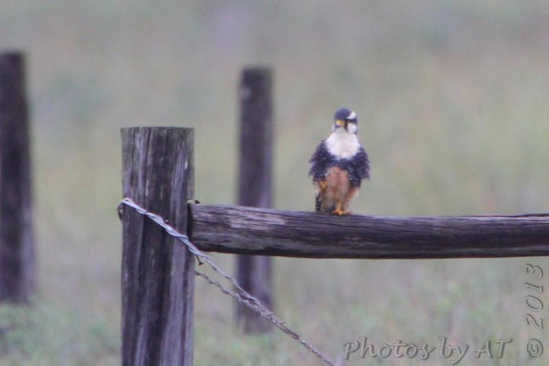 Aplomado Falcon <br /> Second one at fence corner much closer.<br /> Luguna Atascoso <br /> Texas