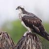 Osprey <br /> Luguna Atascoso NWR <br /> Texas
