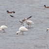 White Ibis, Laughing Gull <br /> and American Wigeon <br /> Luguna Atascoso NWR <br /> Texas