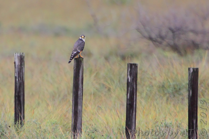 Aplomado Falcon <br /> First one seen way out on fence post.<br /> Luguna Atascoso