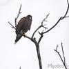 Harris's Hawk <br /> Luguna Atascoso NWR <br /> Texas