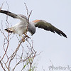White-tailed Hawk <br /> Along highway to <br /> Luguna Atascoso NWR <br /> Texas
