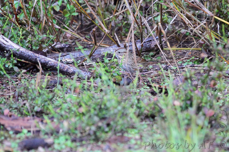 Lincoln's Sparrow <br /> Luguna Atascoso NWR <br /> Texas