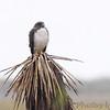 White-tailed Hawk <br /> Luguna Atascoso NWR <br /> Texas