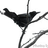 Boat-tailed Grackle <br /> Luguna Atascoso NWR <br /> Texas