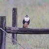 Aplomado Falcon <br /> Luguna Atascoso NWR <br /> Texas