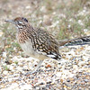Greater Roadrunner <br /> Luguna Atascoso NWR <br /> Texas
