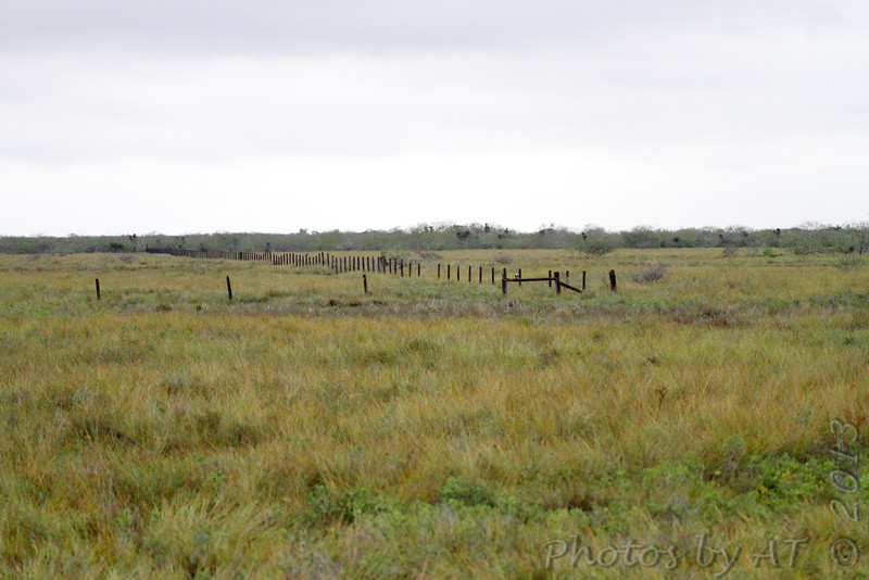 Aplomado Falcon <br /> See next two photos for both <br /> Luguna Atascoso NWR <br /> Texas