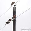 Harris's Hawks <br /> Luguna Atascoso NWR <br /> Texas