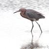 Reddish Egret <br /> Luguna Atascoso NWR <br /> Texas