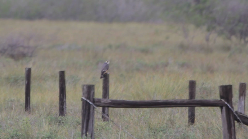 """Aplomado Falcon  <br> Second one at fence corner much closer. <br> Luguna Atascoso NWR <br> Texas <br><br><span class=""""noShowSmart""""> <a href=""""/MyKeywords/Bird-Videos/n-gF9bt/i-wvPCF3C/A""""> <span style=""""color:yellow"""">Click here to open video in lightbox/full screen</span></a> <br><br></span>  <span class=""""noShowGallery""""> <a href=""""/Birds/Birding-2013-January/2013-01-09-Luguna-Atascoso-NWR/i-wvPCF3C/A""""> <span style=""""color:yellow"""">Click here to open video in lightbox/full screen</span></a> </span>"""