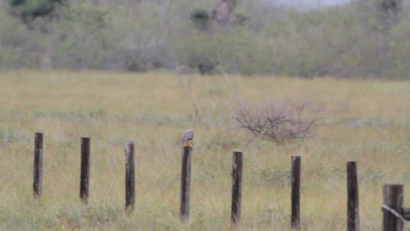 "Aplomado Falcon  <br> Second one at fence corner much closer. <br> Luguna Atascoso NWR <br> Texas <br><br><span class=""noShowSmart""> <a href=""/MyKeywords/Bird-Videos/n-gF9bt/i-xqMdJTL/A""> <span style=""color:yellow"">Click here to open video in lightbox/full screen</span></a> <br><br></span>  <span class=""noShowGallery""> <a href=""/Birds/Birding-2013-January/2013-01-09-Luguna-Atascoso-NWR/i-xqMdJTL/A""> <span style=""color:yellow"">Click here to open video in lightbox/full screen</span></a> </span>"