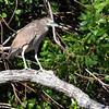Black-crowned Night-Heron <br /> Port Aransas <br /> Texas