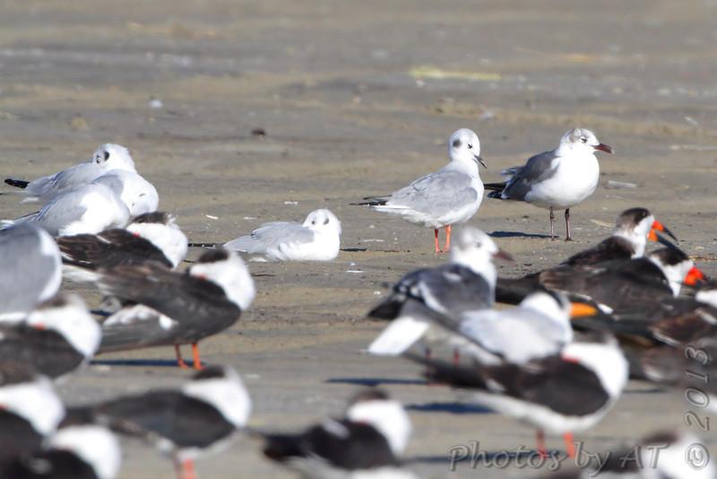 Bonaparte's Gulls and Black Skimmers <br /> Port Aransas <br /> Texas