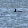 Bottlenose Dolphin <br /> Ferry to Port Aransas <br /> Texas