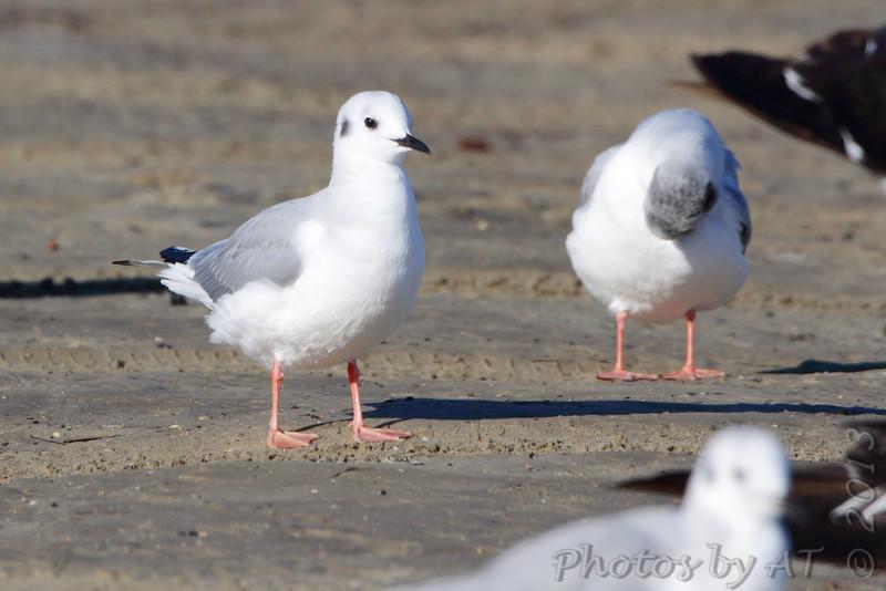 Bonaparte's Gull <br /> Port Aransas <br /> Texas