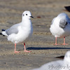 Bonaparte's Gull <br /> Port Aransas <br /> Texas