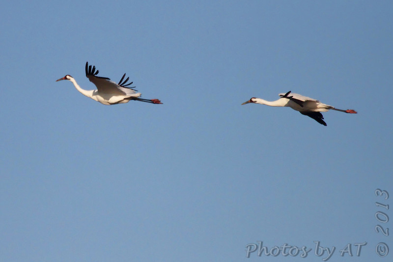 Whooping Cranes <br /> Lamar Peninsula <br /> Texas