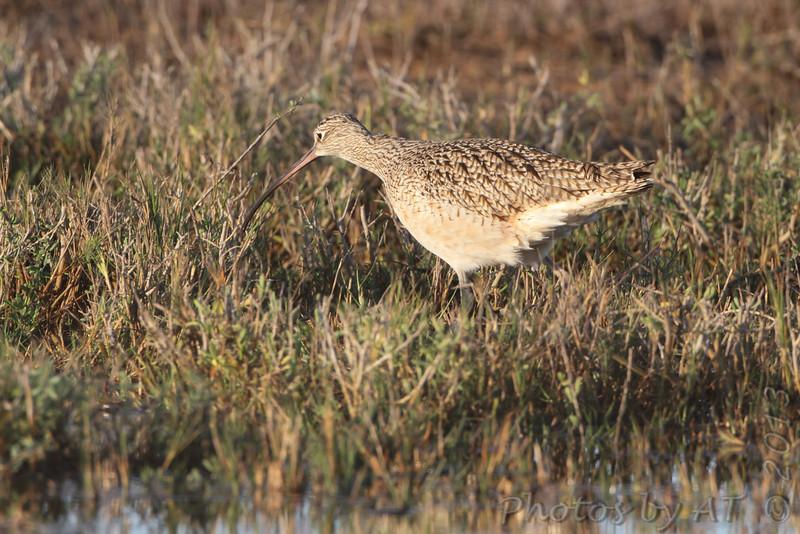 Long-billed Curlew <br /> Lamar Peninsula <br /> Texas