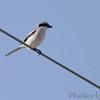 Loggerhead Shrike <br /> Lamar Peninsula <br /> Texas