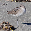 Willet <br /> Port Aransas <br /> Texas