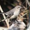 Northern Mockingbird <br /> Port Aransas <br /> Texas