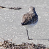 Black-bellied Plover <br /> Port Aransas <br /> Texas
