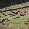 Black-bellied Whistling-Ducks <br /> Lamar Peninsula <br /> Texas