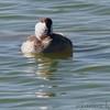 Ruddy Duck <br /> Port Aransas <br /> Texas
