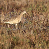 Long-billed Curlew <br /> Lamar Peninsula <br /> Texas