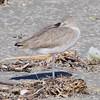 Black-bellied Plover <br /> Port Aransas <br /> Texas