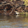 Spotted Sandpiper <br /> Lamar Peninsula <br /> Texas