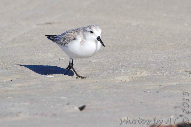Sanderling <br /> Port Aransas <br /> Texas